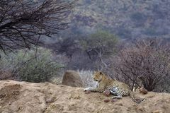 Leopard. Africat Foundation promoting large carnivore conservation and animal welfare Royalty Free Stock Images