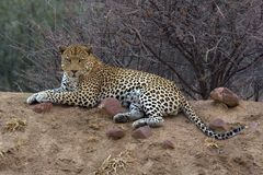 Leopard. Africat Foundation promoting large carnivore conservation and animal welfare Royalty Free Stock Photo