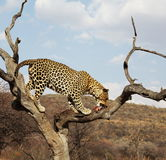 Leopard. On the tree in Namibia Royalty Free Stock Image