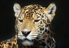 Leopard. Closeup of a beautiful leopard Stock Photos