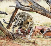 Leopard. In the Africat Park,Namibia Royalty Free Stock Image