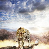 Leopard. On the tree on sunset Royalty Free Stock Images