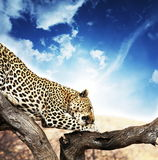 Leopard. On the tree on blue background Stock Photos