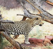 Leopard Royalty Free Stock Photos
