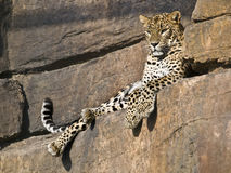 Leopard. Lying in the hollow of a stone wall Royalty Free Stock Images