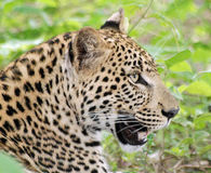 Leopard. A male leopard relaxes on the forest floor in Botswana Stock Photos