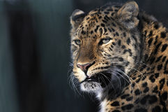 Leopard. Looking slightly to the side Stock Images