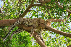 Leopard. Beautiful leopard sleeping on tree in Serengeti, Tanzania royalty free stock photo