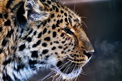 Leopard. From the side with its breath from the cold Royalty Free Stock Photos