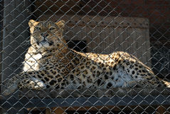 Leopard. In aviary of the zoo for lattice Stock Images