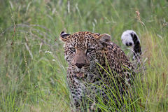 Leopard Lizenzfreie Stockfotos