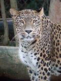 Leopard. Look of leopard (Panthera pardus saxicolor) in zoo in czech republic Stock Photo