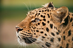 Leopard. In a profile and colour stock photo