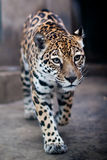 Leopard. Walking in the zoo Royalty Free Stock Photo