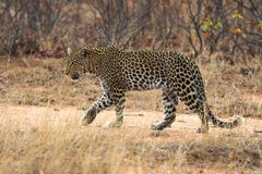 Leopard. Adult Leopard walking in the african bush Royalty Free Stock Photos