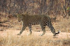 Leopard. Adult leopard pausing to look at the camera Royalty Free Stock Photo