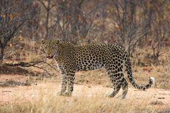 Leopard. Adult leopard pausing to look at the camera Royalty Free Stock Photography