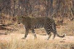 Leopard. Adult leopard walking in the African bush Royalty Free Stock Image