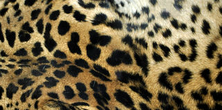 Leopard. Or Panthera Pardus of the Felidae family - useful as a background Royalty Free Stock Photos
