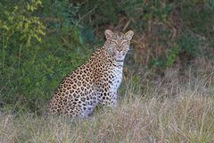Leopard. Sitting and looking directly at the camera Royalty Free Stock Images