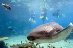Leopard. Shark (Stegostoma fasciatum) with Skindiver in background Stock Images