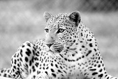 Leopard. Black and white picture of a Leopard Stock Image