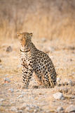 Leopard. Wild leopard portrait, Etosha, Namibia royalty free stock photos