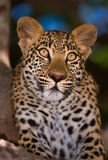 Leopard. Close-up portrait of a leopard in a tree; Panthera pardus Stock Photos