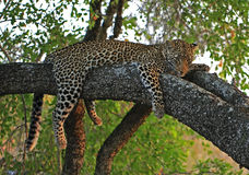 Leopard. A leopard at rest in a tree Royalty Free Stock Photos