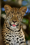 Leopard. Close-up portrait of a leopard in a tree; Panthera pardus Stock Photography