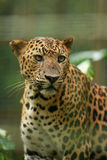 Leopard. The leopard is the fourth largest of the Panthera big cats in the world with the tiger, lion and jaguar being larger Royalty Free Stock Photos