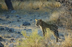 Leopard. A leopard early in the morning in the wild of Namibia, Africa Royalty Free Stock Photos