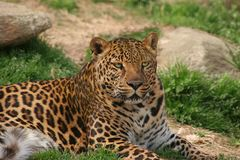 Free Leopard Royalty Free Stock Photo - 2150795