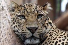 Leopard. Portrait of a Leopard (Panthera pardus Stock Images