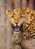 Leopard. Portrait of young growling Leopard Royalty Free Stock Photography