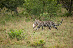 Leopard. With small prey (Panthera pardus Royalty Free Stock Image