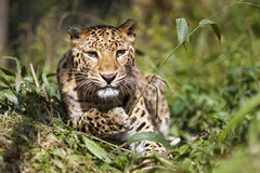 Leopard. Cute playful Leopard laying down in the grass Stock Photography