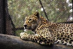Leopard. Caucasian leopard Royalty Free Stock Photos