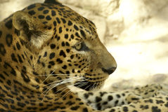 Leopard. Large solitary cat that has a fawn or brown coat with black spots, found in the forests of Africa and southern Asia. [Panthera pardus Stock Image