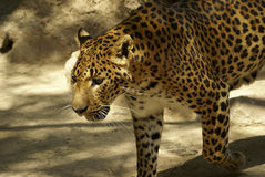 Leopard. Looking for someone on: large solitary cat that has a fawn or brown coat with black spots, found in the forests of Africa and southern Asia. [Panthera Stock Photography