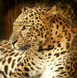 Leopard,. Portrait of a leopard staring at possible prey Royalty Free Stock Photo