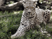 Leopard Stock Image