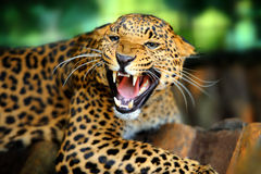 Leopard. Close-up of roaring leopard Stock Photography