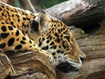 Leopard. Headshot of a Leopard at rest gazing intently Stock Photo