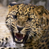 Leopard. Furious leopard. close up photos Royalty Free Stock Photo