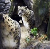Leopard. Snow leopard Stock Images