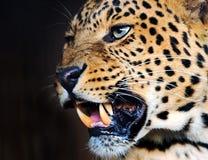 Leopard Royalty Free Stock Photo