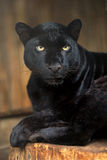 Leopard. Black Leopard in natural habitat Stock Image