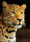 Leopard. Portrait of a leopard in its natural habitat Stock Photos