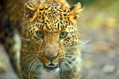 Leopard. Portrait of a leopard in the summer in the woods Stock Image